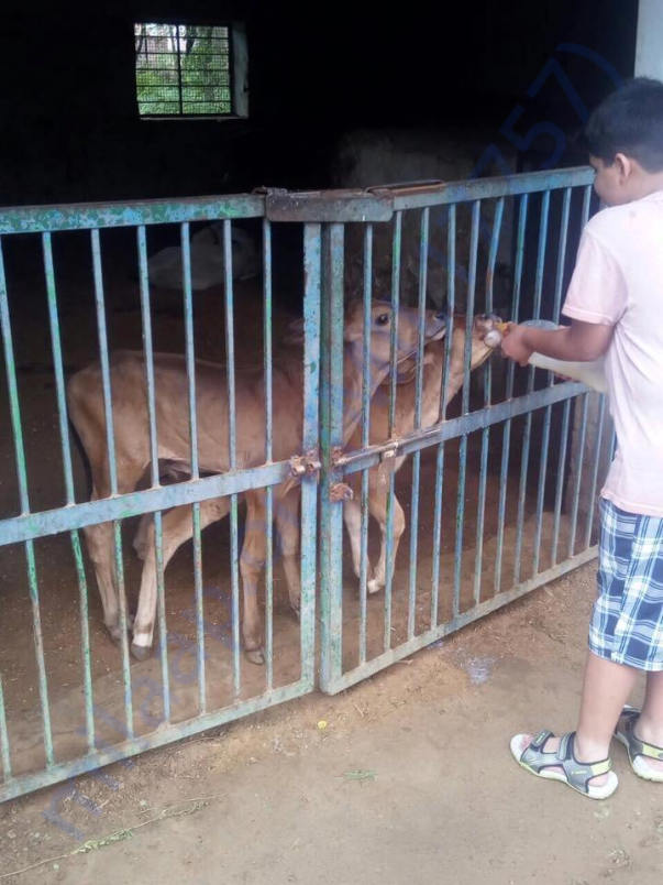 Young Volunteer feeding abandoned male calves at HIS