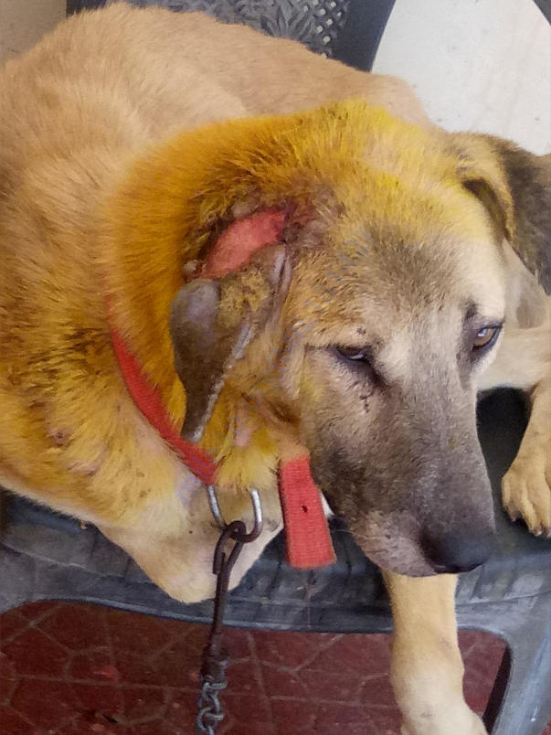 Maggot wound recovered dog