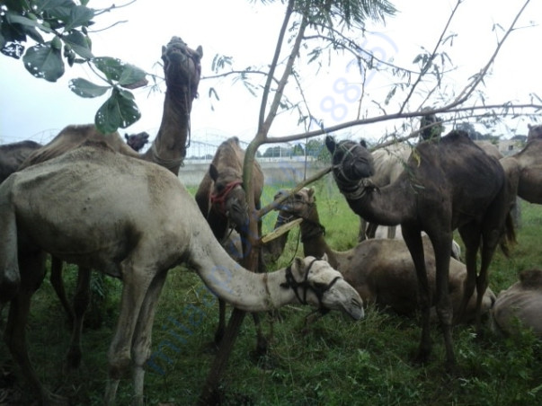 33 camels rescued from slaughter, now at PFA's shelter