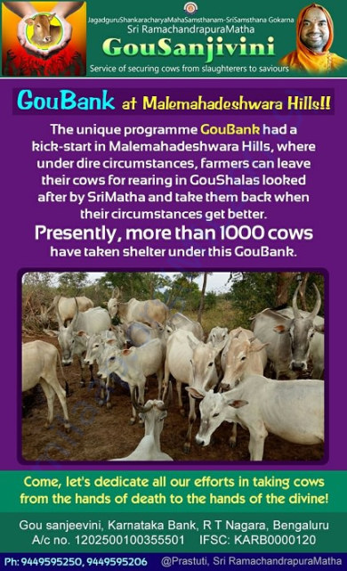 Gou Bank @ MM Hills 1000 cows give shelter instead of Slaughter house!