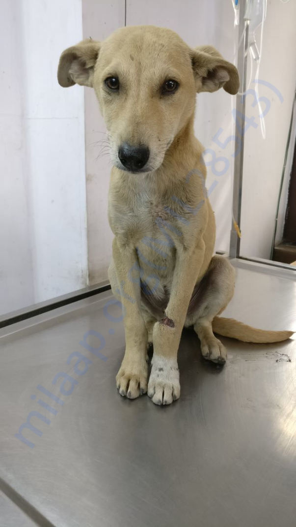 Rex was found with an infected open leg wound