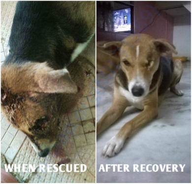 Photos of Maggie when rescued and after recovery from her maggot wound