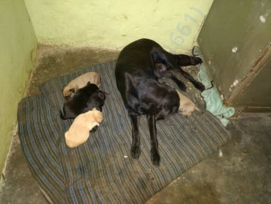 RWA beaten mommy dog safely rescued to our shelter