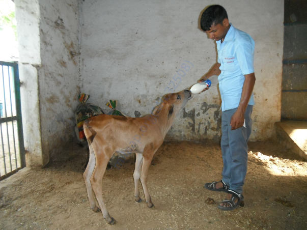 Staff feeding abandoned male calf at Shelter