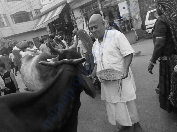 The street cows being fed by me in Vidyapith Chowrahain Vrindavan