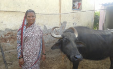 Navasa and her buffalo
