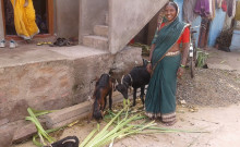 Vimalavva and her goats