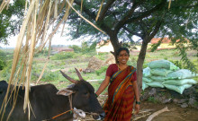 Shantavva with her new cow