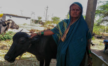 Tanibayi with her buffalo