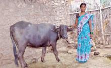 Sangeet with her Buffalo