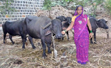 Mamataj with her buffaloes