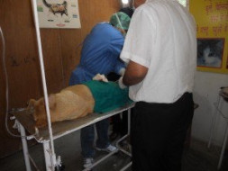 Sterilisation and vaccination of stray dogs in Kumaon, Uttarakhand