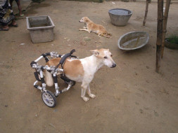 Help Paralyzed Dogs Walk Again