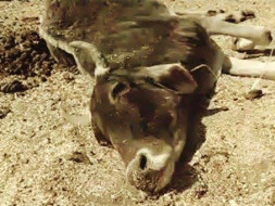 Help Abhinav Save Cows Being Starved in Bundelkhand, India