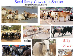 Help us give stray cows a safe shelter & feed  save sri Guru Kamadhenu