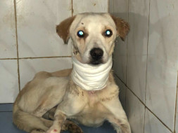Help with treating Jimmy the dog that had a bone stuck and slit his throat.