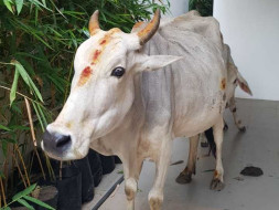 Join Us To Rescue, Treat and Shelter Stray Cows