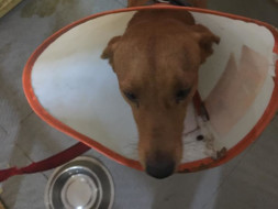 Brownie a stray was saved by Yoda NGO Khar