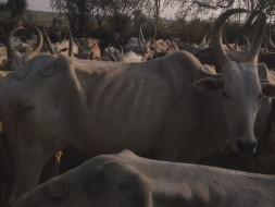 Save the Desi Cows who are dying of hunger in Karnataka