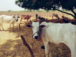 Help Veera Brahmendra Goshala and save gomathas