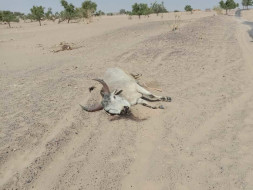 Help Drought-hit Dying Cows In Rajasthan