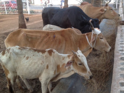 Help our Sanctuary for Battered & Bruised Cows