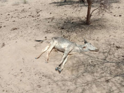 Help Dying Cows in India with Food, Water, and Doctors