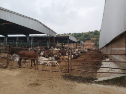 Home To Over 50,000 Cows, This Gaushala Needs Your Support