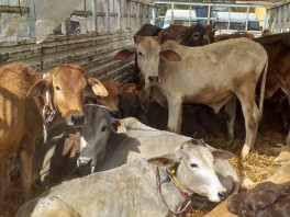 help-bsf-rescued-cattle