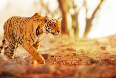 Our National Icon, The Tiger, Is Calling For Your Help To Save Its Species From Endangerment