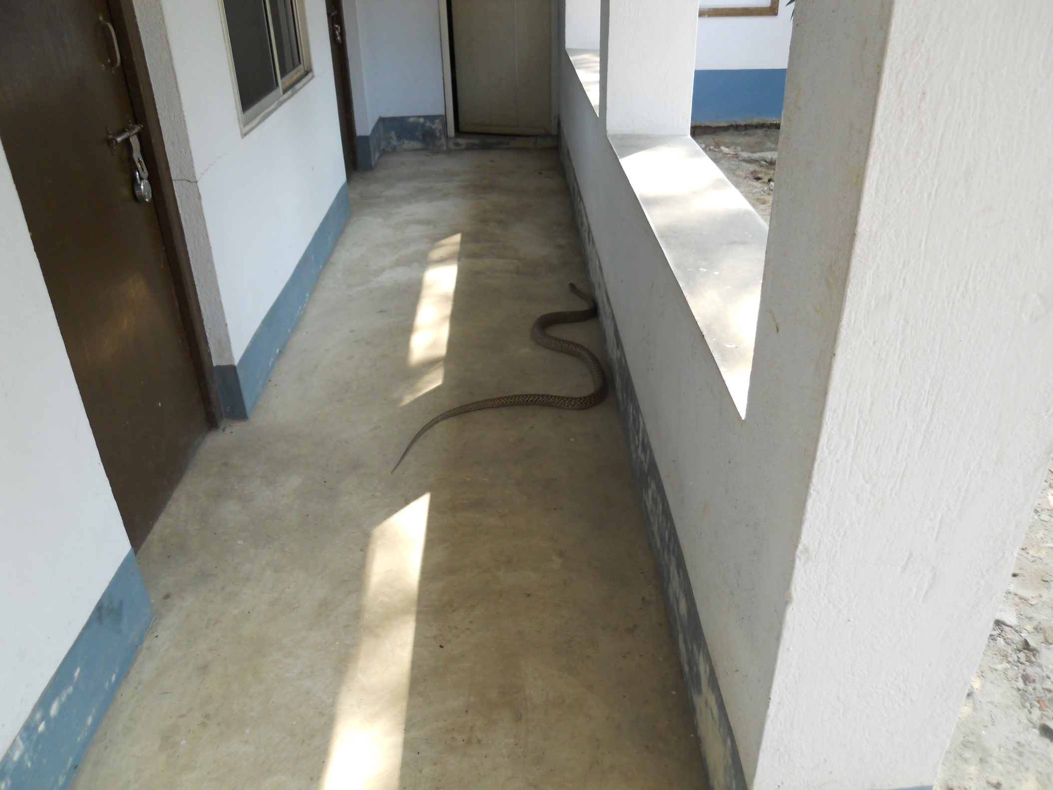 This 3 metre-long snake happily slithering around the premises of the guesthouse.