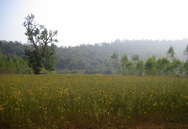 Millet plantations on way to Rayagada