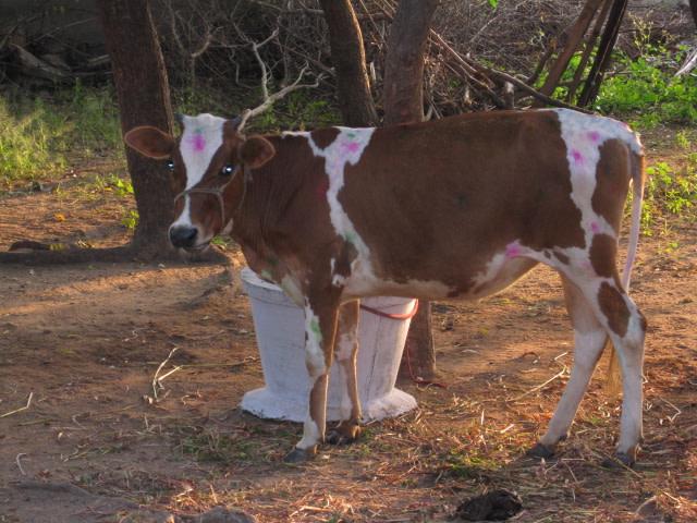 The cow, Lakshmikutty