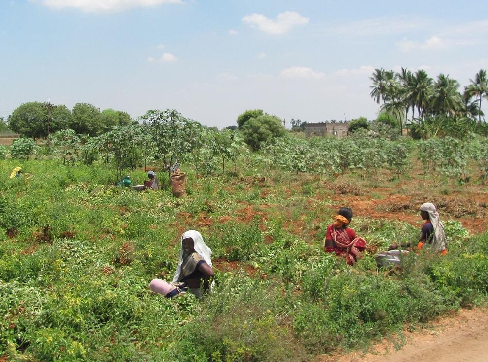 Workers harvesting groundnuts