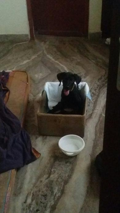 Photo of Blacky - A puppy who battled Parvo and vehicle accident.