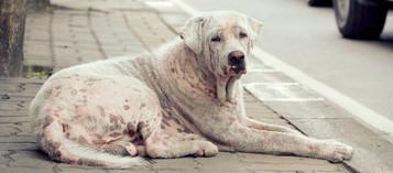 SICK STRAY DOG