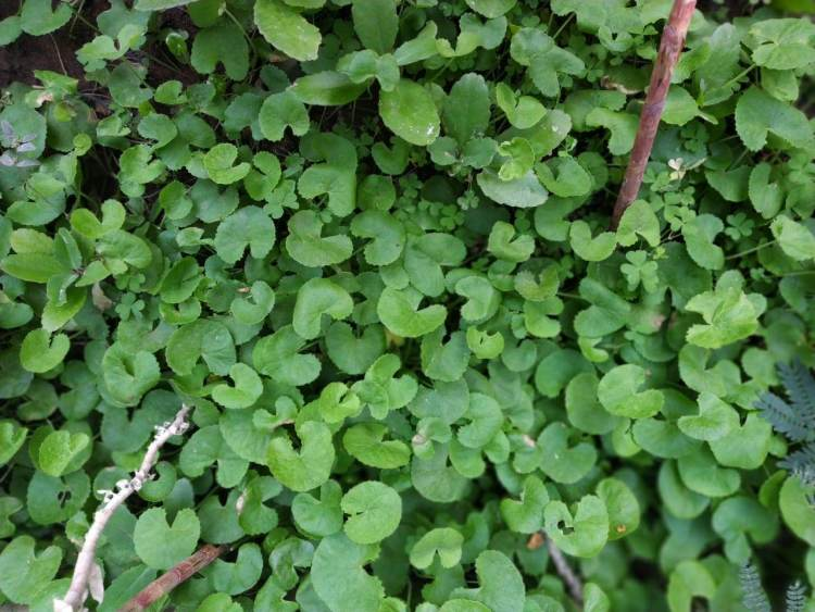 Brahmi or Bacopa monnieri is widely known for enhancing memory. It is also good for Diabetes and is rich in antioxidants