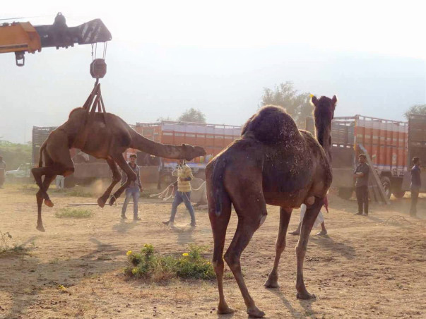 Help PFA Rajashthan For Their Permanent Rescue Camel  Shelter Project.
