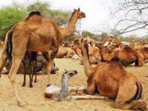 Lets Save The Innocent Camels From Being Shot