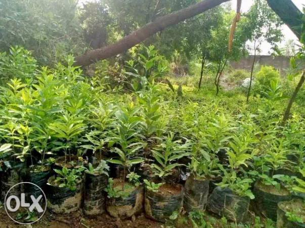 Go  Green with Sandal Tree Plantation