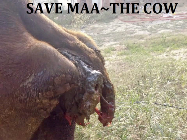 Save Maa-The Abused and Abandoned Cow