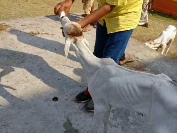 Support DhyanFoundation Rehabilitate 1500+ Rescued Cattle