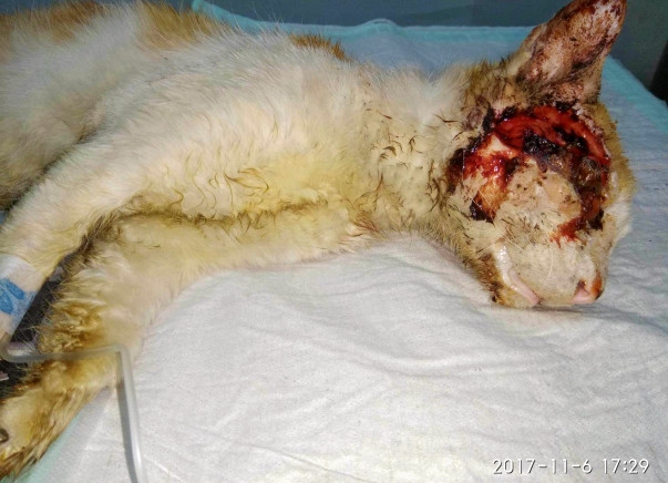 Ethan The Cat, Was Found With A Terrible Eye Injury And Needs Our Help