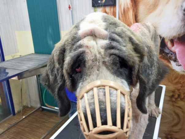 Help Us with the Rehab of Rescued Saint Bernard