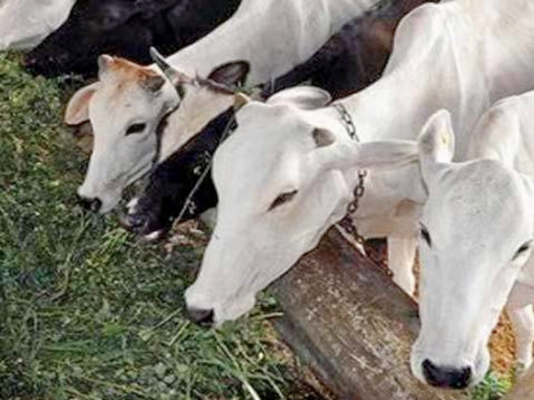 TO PROVIDE SHELTER AND CARE FOR STREET COWS