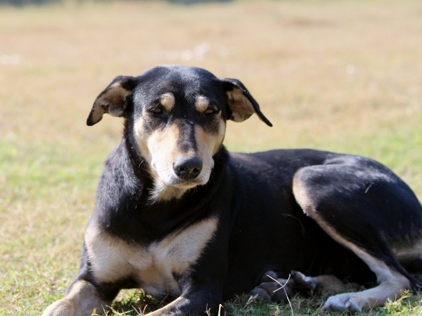 Support Jyoti Who has found forever homes for 10 Indie Dogs in the US