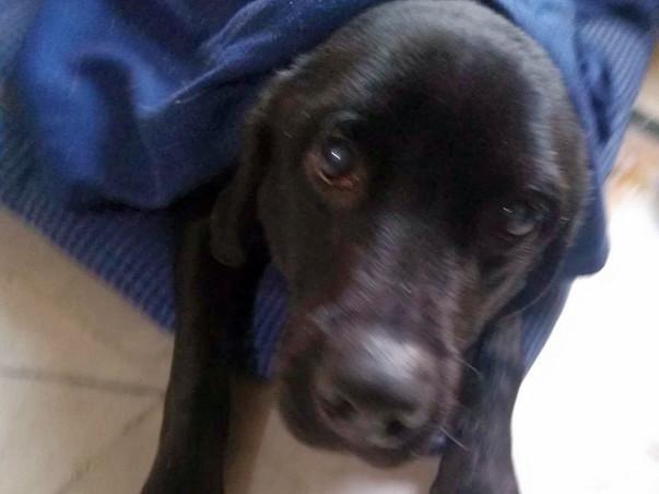 Help An Abused Lab: Max's Rehabilitation Program
