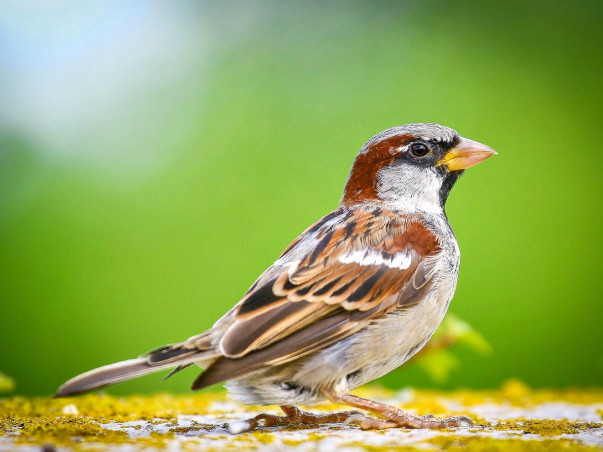 Save the Sparrows