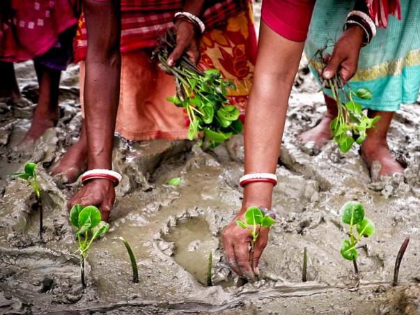 Adopt a Mangrove Plant