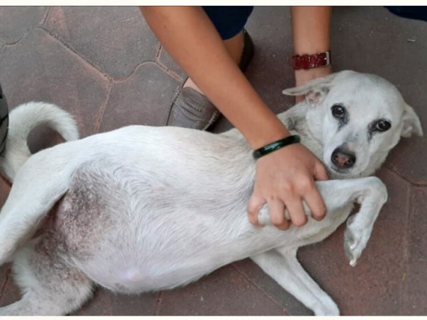 Help Chameli The Stray Dog Raise Funds To Fight Ascites
